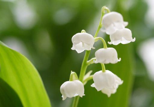 すずらんの花言葉は怖いのか意味や由来を紹介!英語やフランス語では何と言うの?
