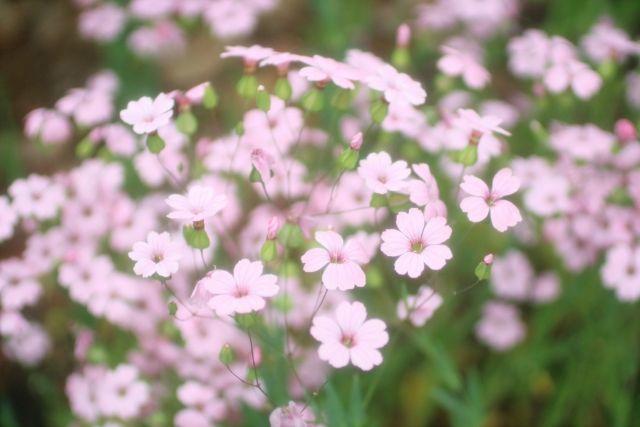 かすみ草の色別の花言葉は?意味や由来・英語名を解説!