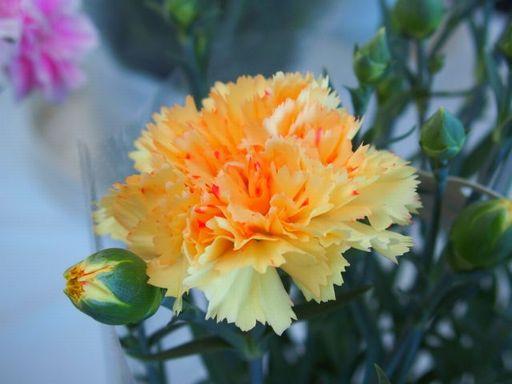 カーネーションの色別の花言葉は?意味や由来を紹介!悪い意味もあるの?オレンジ色のカーネーション